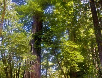 Community Redwoods jpg