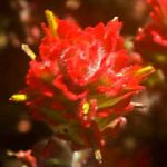 Red Waxy Flower jpg