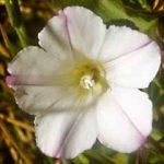 White Flower jpg